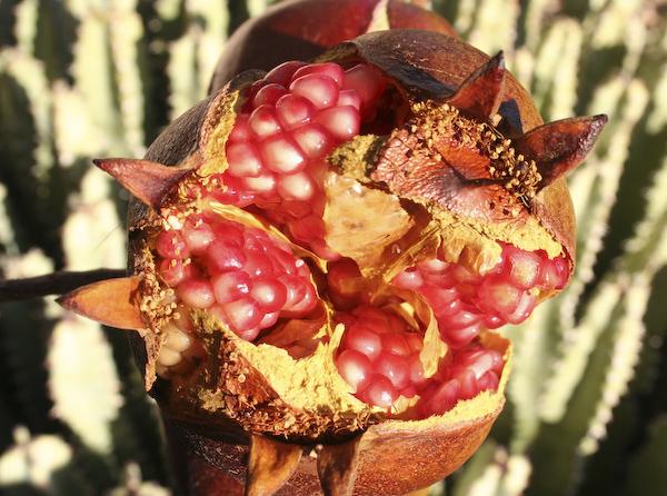 Pomegranate_Fruit_600